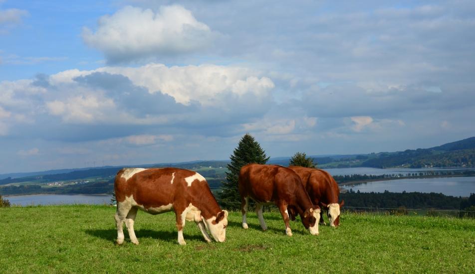 Bio-Heu-Region Trummer Seenland mit Jungrindern auf der Weide