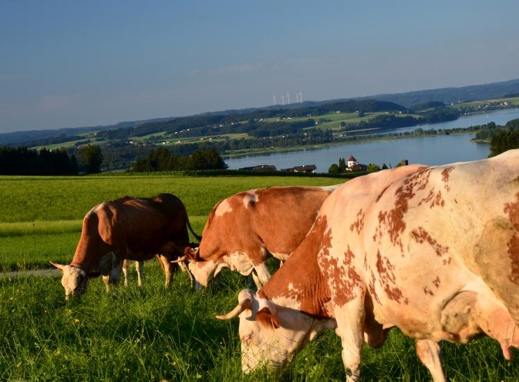 Kühe vom Aicherbauer im Land der Stillen Nacht liefern die Milch für eine der besten Schokoladen der Welt