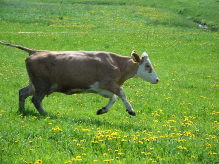 Bio Heuregion - Kuh springt auf der Weide