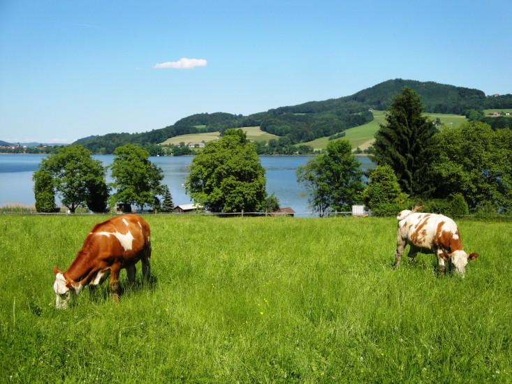 Bio Heuregion - Tiere auf der Weide am Obertrummer See