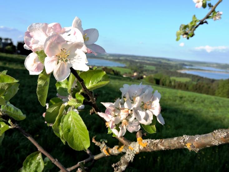 Blütenparadies Bio-Heu-Region mit Dreiseenblick, fotografiert am 07.05.2015