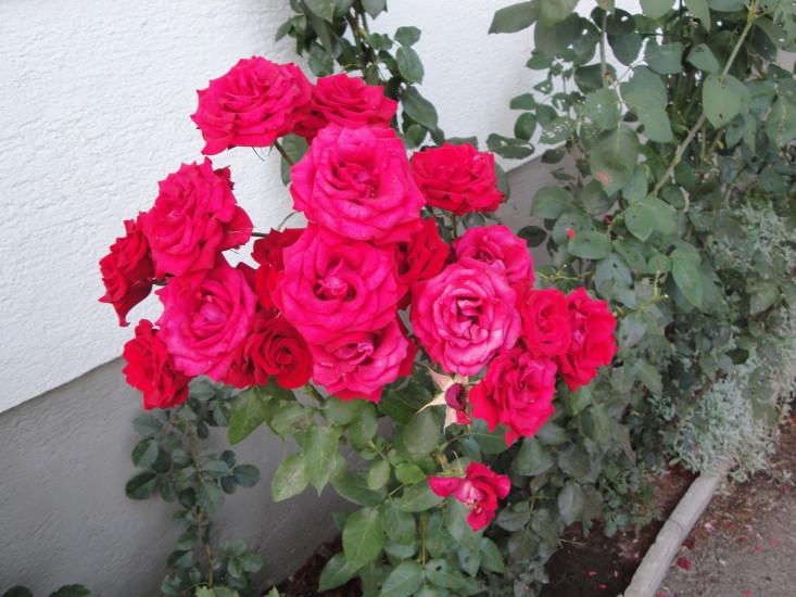 Rosen im Garten blühen nur, wenn wir etwas TUN