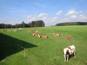 Kühe können Tag und Nacht vom Stall oder Auslauf auf die Weide
