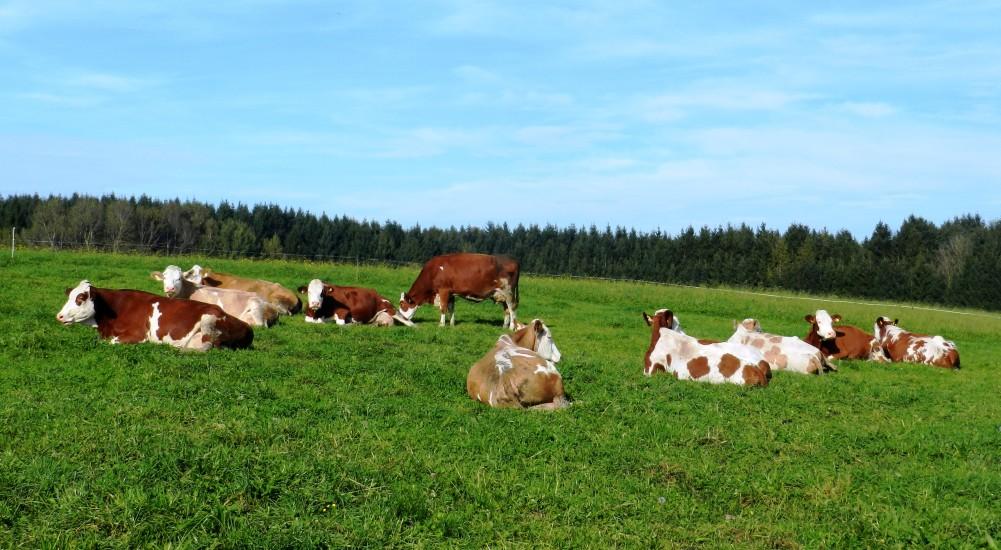 Kühe auf der Weide sieht man sehr viele in unserer Bio-Heu-Region