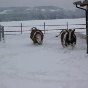 im Winter gibt es keine Weide, aber sie dürfen sich im Auslauf austoben