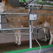 Kühe beim melken der Bio Heumilch