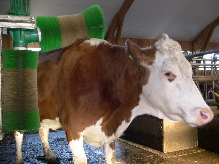 Wellness für Kühe, die Massagebürste steht ebenfalls Tag und Nacht zur Verfügung